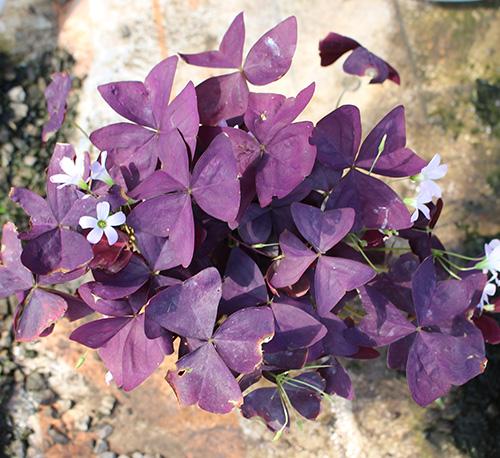 紫蝴蝶三叶草