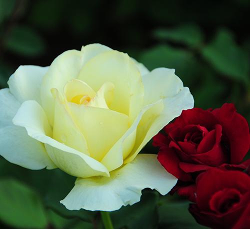 白色月季花