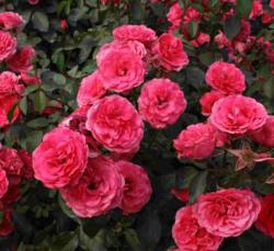 杭州月季花