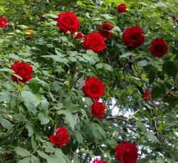 红色月季花批发