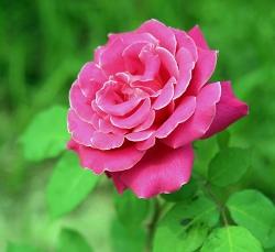 杭州粉色月季花